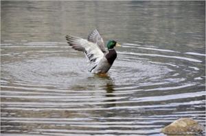 Zeller See mit Ente
