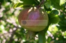 Garten - Granatapfel