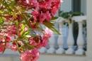 Garten - Oleander