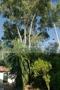 Garten Eukalyptus