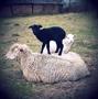 """""""das schwarze Schaf"""""""