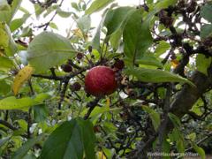Der Rest der Apfelernte