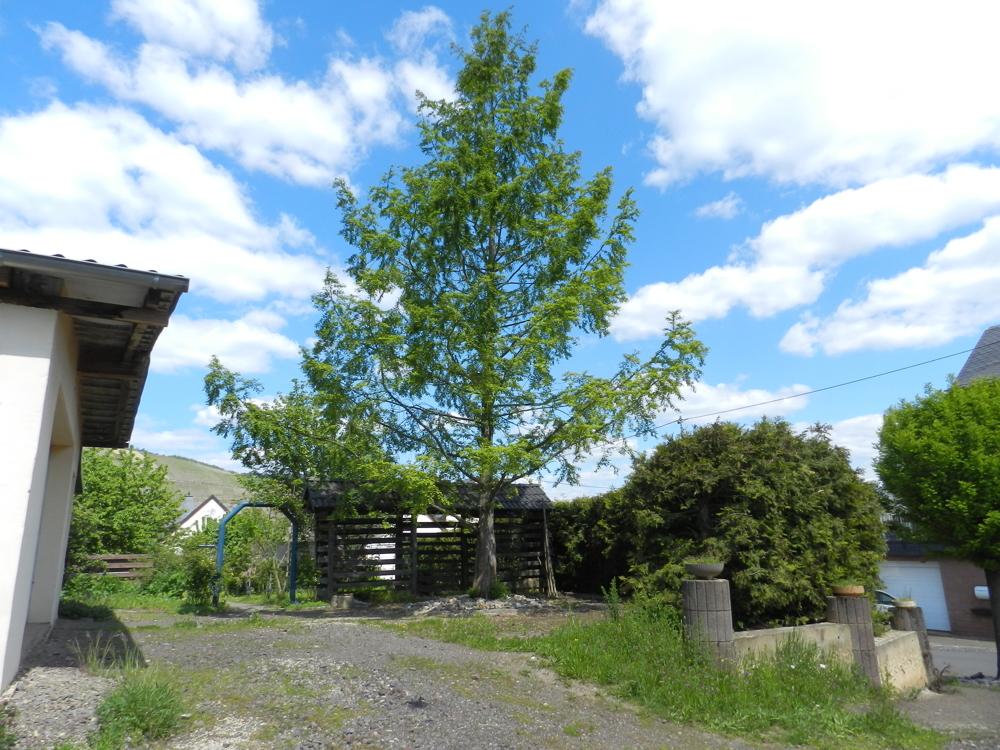 Zufahrt Garage/Mamutbaum