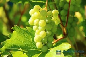 grapes-g4d9fccfc0_1920