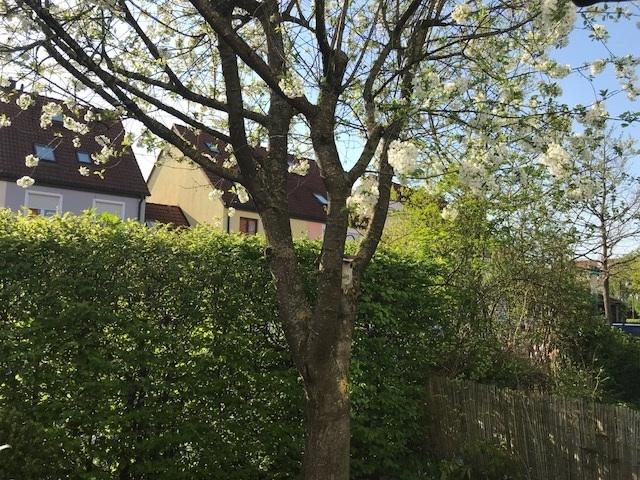 Kirschbaum Garten