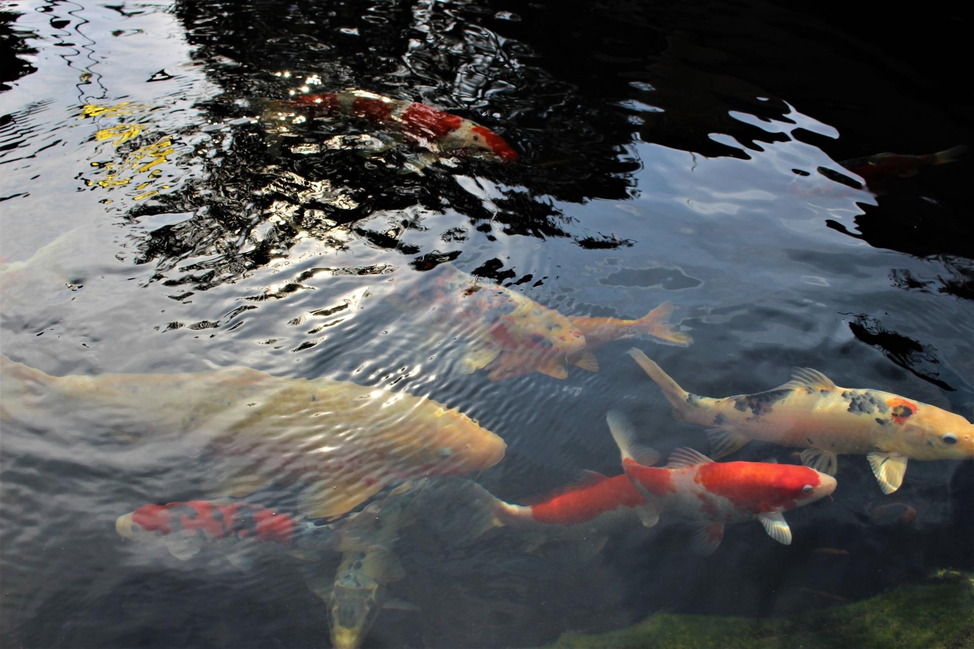 Teich mit Koibestand