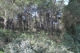 Pine forest with tree preservation