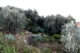 View of the Land (Olive trees)
