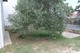 Zwei Olivenbäume bereichern den Garten