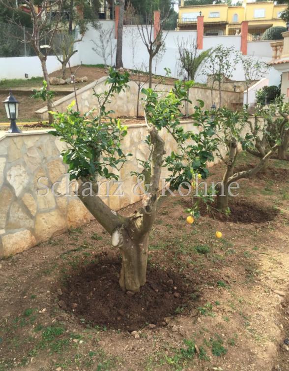 Zitronenbäume