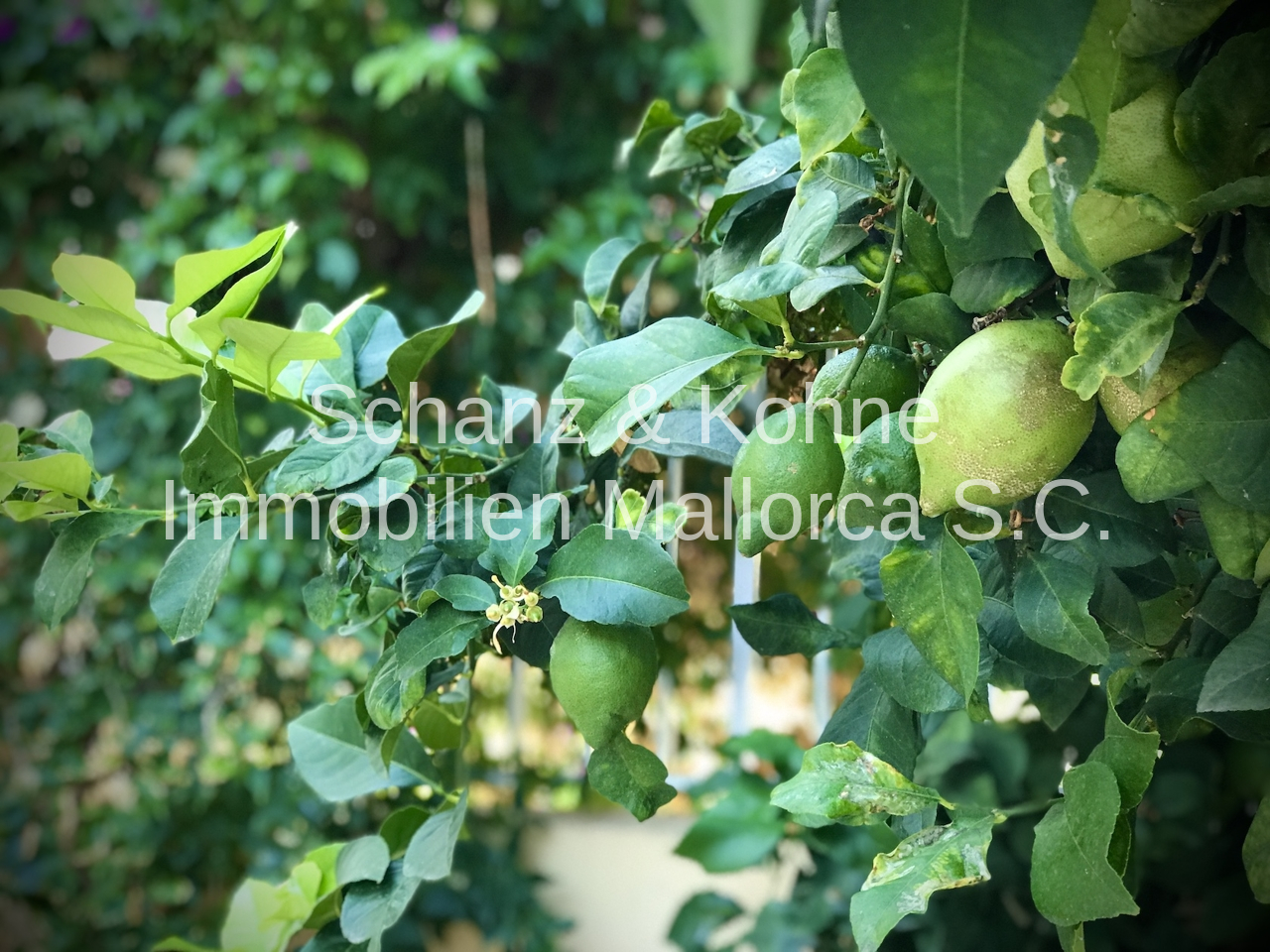 Limettenbaum 1.1