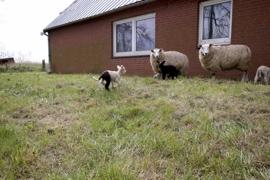 Haus mit Schafen