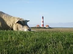 Schaf auf Deich