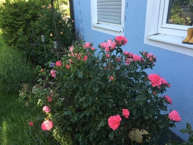 Rosenpracht im Sommer