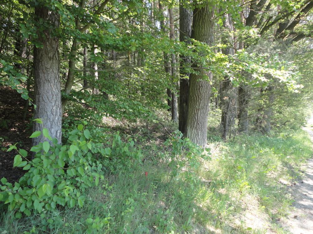 Eichen am Waldrand
