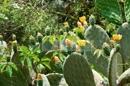 Garten - Kaktus mit Früchten