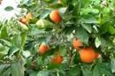 Garten - Orangen